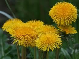 dandelion flowers2